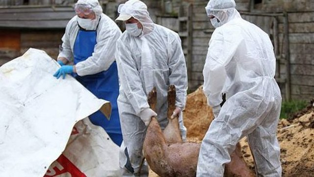 Cu o săptămână înainte de Crăciun: Avem 409 focare de pestă porcină africană în 32 de județe!