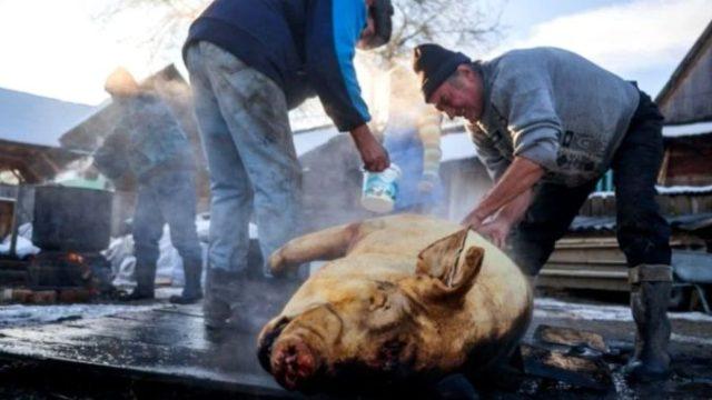 Tăierea porcului de Ignat 2020. Obiceiuri și tradiții