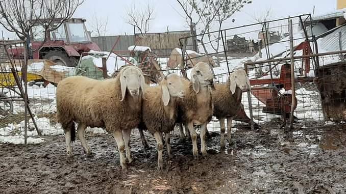 Rase de ovine Bergamasca îi cucerește pe fermierii care vor randament pe carne