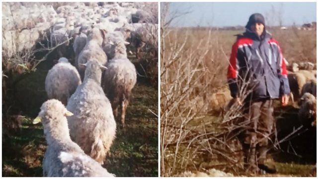 Revoltător: Oi pline de râie și de alte boli! De ce primește acest proprietar subvenție pe animale?
