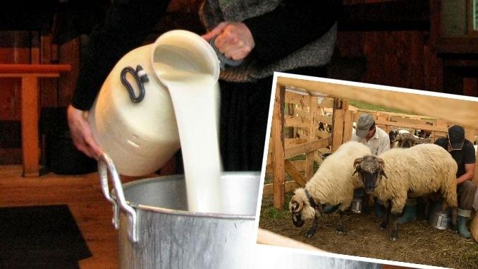 """Preț mic pentru laptele de oaie. """"Toate prețurile s-au dublat, numai la ciobani munca e pe nimic"""""""