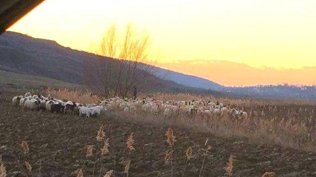 În Parlament: Lege pentru pedepsirea crescătorilor care pasc animalele abuziv pe terenurile agricole!