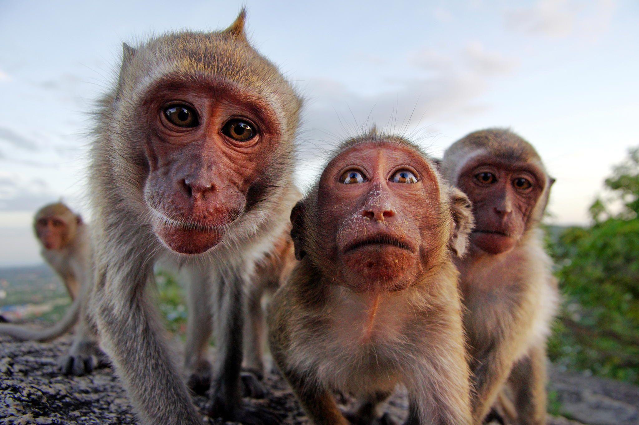Americanii au început să vaccineze și maimuțele împotriva Covid-19