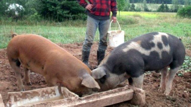 Proiect OUG: Maxim 6 porci în gospodăria țărănească, vânzarea și reproducerea – interzise!