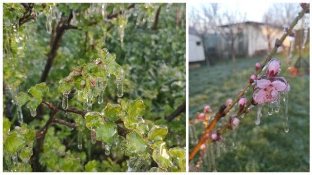 """Protejarea pomilor de îngheț cu apă. """"Înghețarea"""" forțată a ramurilor dă rezultate în livezi"""