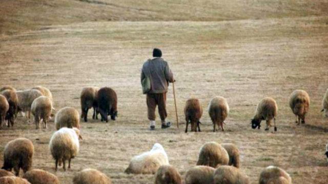 Ciobani amendați pentru distrugerea culturilor agricole. Procesul a durat 3 ani!
