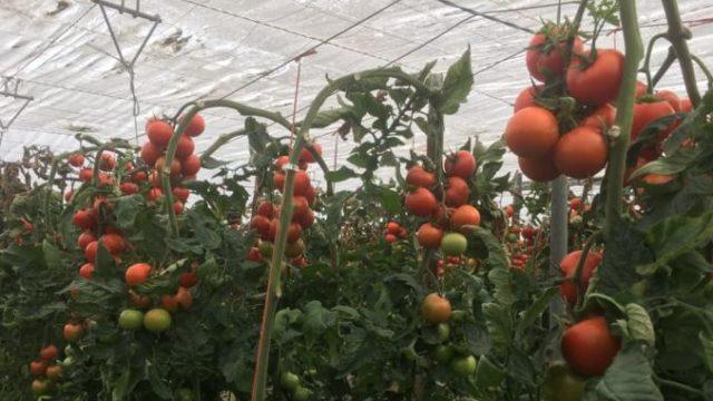 Controale la producătorii de legume românești. Inspectorii verifică inclusiv apa cu care se udă culturile!