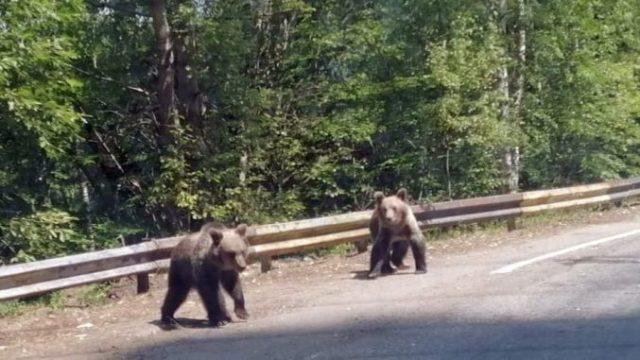 Guvernul a aprobat Ordonanța pentru împușcarea/eutanasierea urșilor!