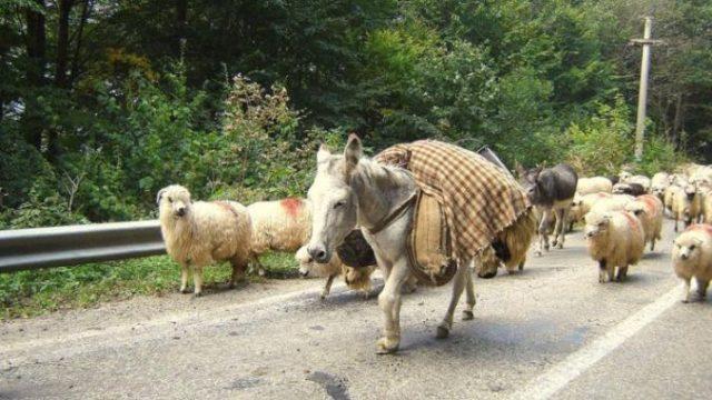Primărie: Animalele lăsate nesupravegheate – confiscate, proprietarii lor – amendați!