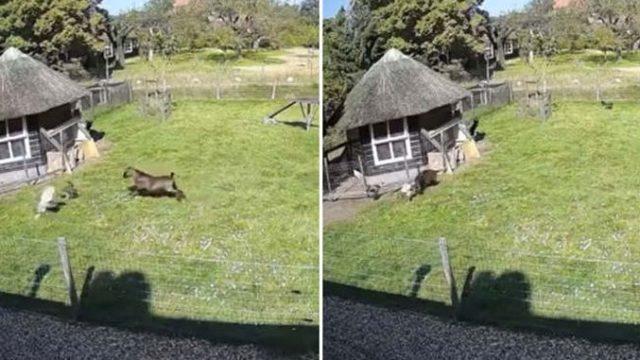 Un cocoș și o capră au salvat o găină din ghearele unui șoim!