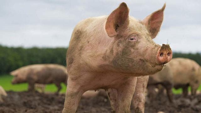 Rase de porci românești. Top 7 rase autohtone de porcine din România
