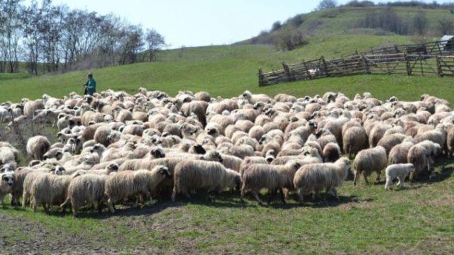 Trei bărbați – reținuți de polițiști pentru furtul a sute de oi și miei de pe pășuni!