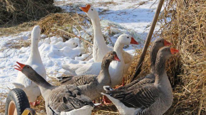Îngrijirea gâștelor pe timpul iernii. Sfaturi utile pentru crescători în sezonul rece