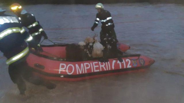 Turmă luată de viitură! Pompierii au intervenit pentru salvarea animalelor!