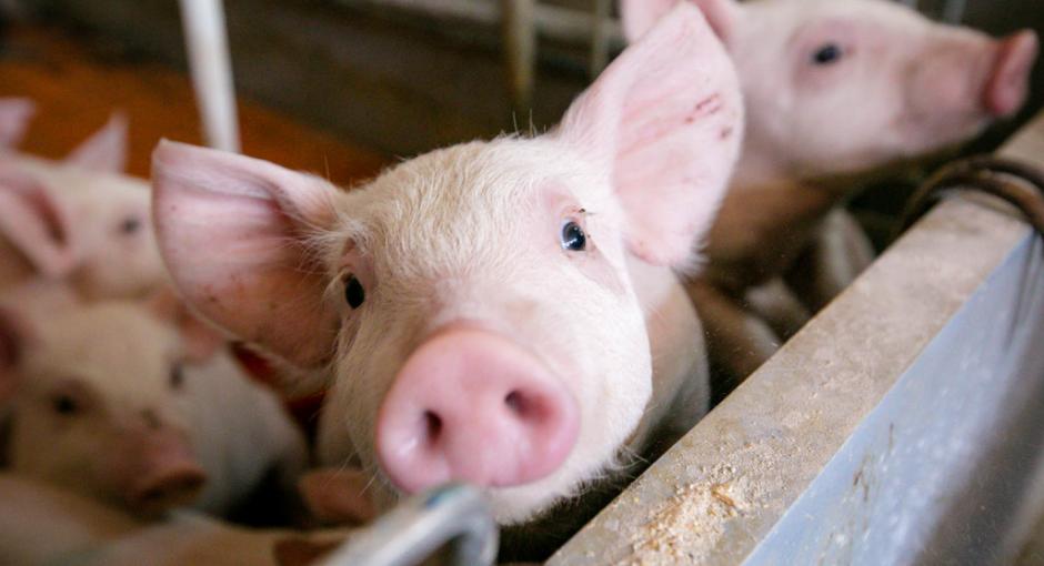 Ministrul Oros nu a retras ordinul prin care interzice țăranului român să crească porci