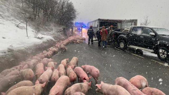 Un TIR încărcat cu 625 de porci s-a răsturnat pe DN 17. O parte din animale au murit pe loc!