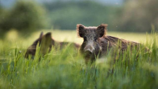"""Fermieri terorizați de porcii mistreți: """"Am făcut cereri la primărie ca să fie vânați, dar nu s-a făcut nimic!"""""""