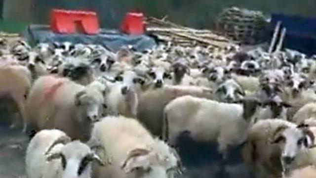 """Protest cu sute de ovine în curtea Primăriei: """"Îi dăm bățul lui domn primar,să le păzească"""""""