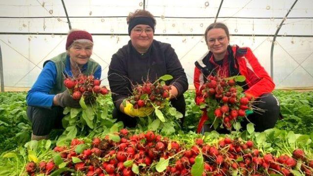 Reușita unei ferme de familie: Recolta de ridichi de la Hetiur se vinde în supermarketuri