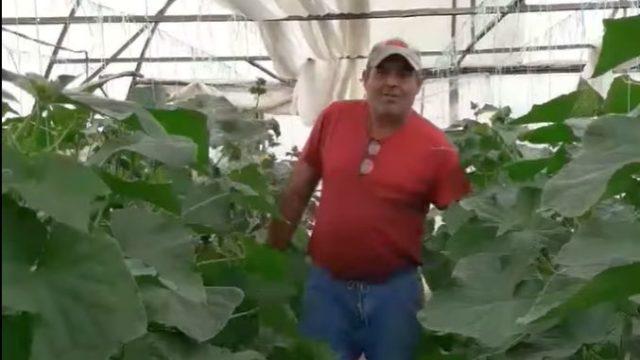 Protest în solar! Un fermier își distruge cultura de castraveți pentru că prețul din piață e prea mic!