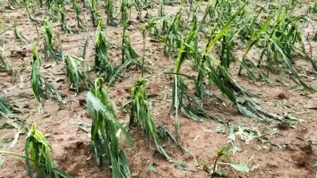 Ploile au culcat culturile la pământ. Fermierii se chinuie să își salveze munca!