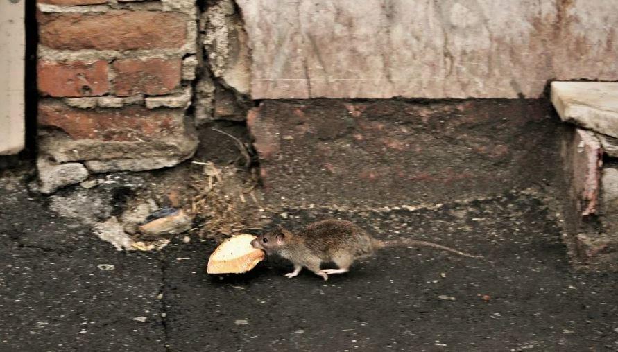 Un cetățean dă în judecată Primăria Capitalei pentru că șobolanii i-au distrus mașina. În Sectorul 1, locuitorii cer să intervină armata și vor referendum pentru demiterea primarului