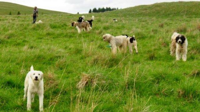 Cioban atacat de urs, salvat de câinii de la stână
