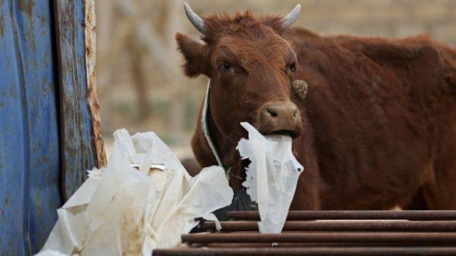 Secetă cumplită al treilea an la rând! Crescătorii au ajuns să hrănească vacile cu saci de plastic și carton înmuiat în apă
