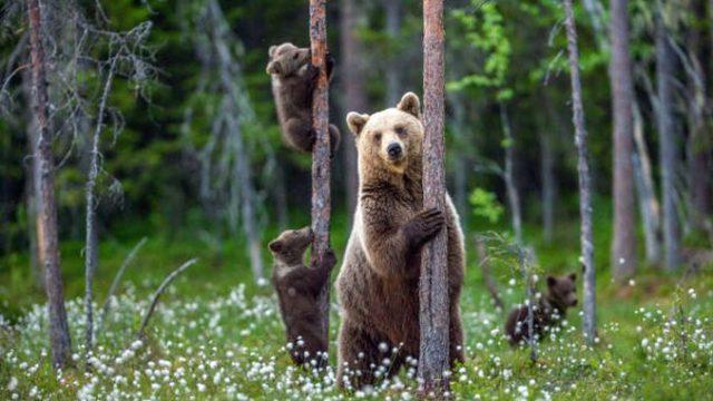 Ce trebuie să faci și să nu faci dacă te întâlnești cu ursul. 15 acțiuni vitale în cazul unui atac