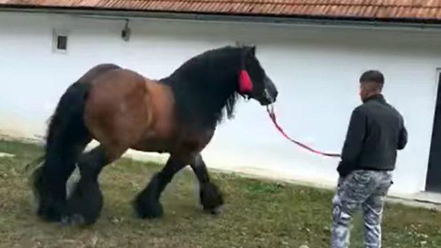 Armăsar în valoare de 7.000 de euro – vedeta Târgului de animale de Câmpeni!