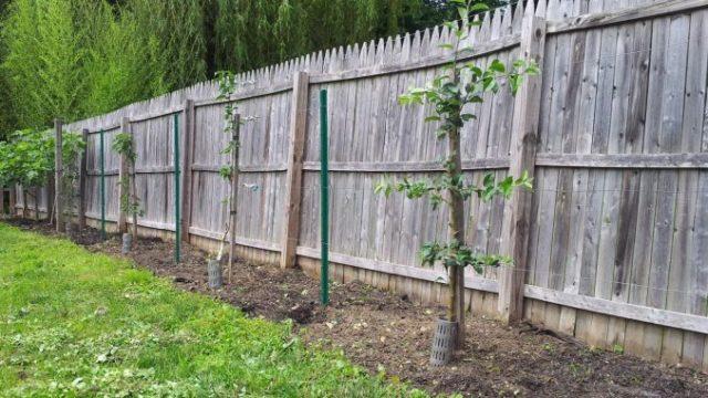 La ce distanță se plantează pomii de gardul vecinului
