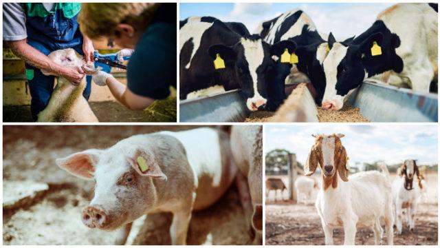 Ordin ANSVSA: Noi termene pentru identificarea și crotalierea la bovine, ovine, caprine și porcine
