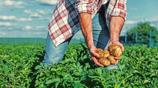 CARIAL® FLEX, fungicidul de la Syngenta potrivit pentru a combate mana cartofului